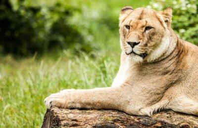 Fototapeta Löwin, Panthera leo