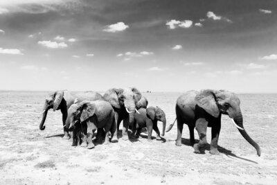 Fototapeta Loxodonta africana, Słoń afrykański.