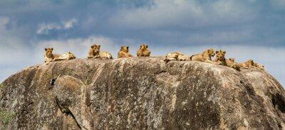 Fototapeta Lwa rodzina na skale - granit kopje - w Serengeti parku narodowym w Tanzania