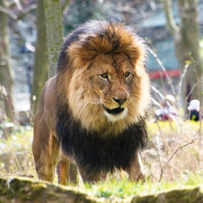 Fototapeta lwy