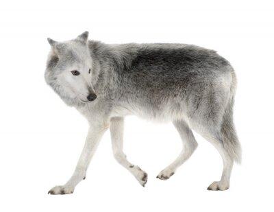 Fototapeta Mackenzie Dolina Wolf ( 8 lat ) - Canis lupus occidentalis
