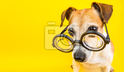 Fototapeta Mądrze pies w szkłach na żółtym backgeound. Poziomy baner. Powrót do tematu szkoły. Zabawne piękne zwierzątko