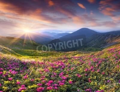 Fototapeta Magiczne różowe kwiaty rododendronów w górach. Lato wschód słońca