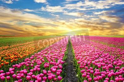 Fototapeta Magiczny krajobraz z zachodem słońca nad pola tulipanów w Holandii