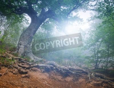 Fototapeta Magiczny las wczesnym rankiem