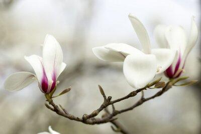 Fototapeta Magnolia.