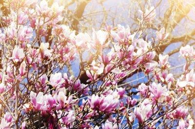 Fototapeta Magnolia