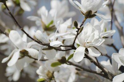 Fototapeta Magnolia białe kwiaty