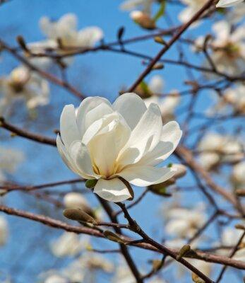 Fototapeta Magnolia blossom