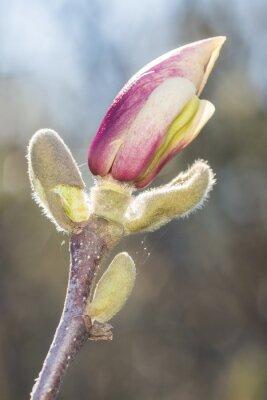 Fototapeta Magnolia Flower Bud Blossom In Spring