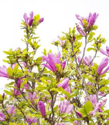 Fototapeta magnolia flowers spring