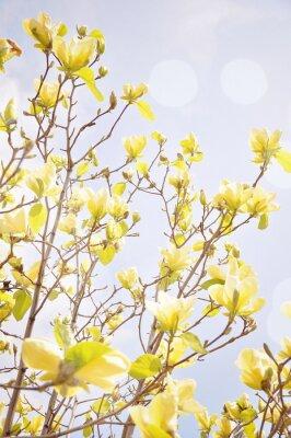 Fototapeta Magnolia kwiat z flary słońca. Płytkie głębi pola.