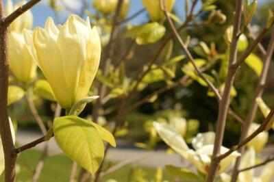 Fototapeta Magnolia kwiaty kolor kremowy