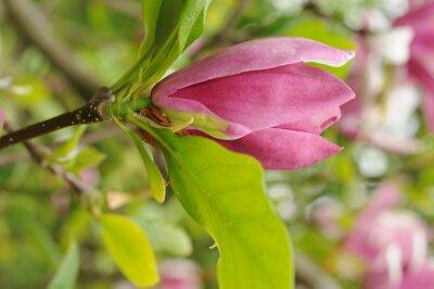 Fototapeta Magnolia pośrednia x