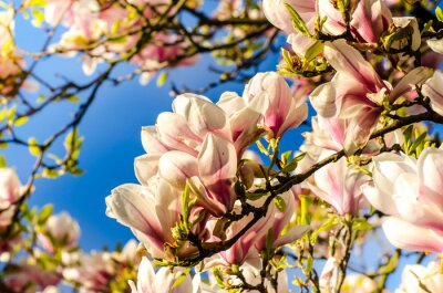 Fototapeta Magnolia przeciw błękitne niebo