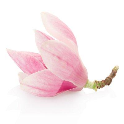 Fototapeta Magnolia, różowy kwiat wiosny na białym, strzyżenie ścieżka