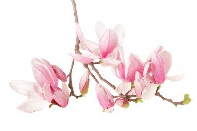 Fototapeta Magnolia, wiosenny kwiat oddział na białym, strzyżenie ścieżka