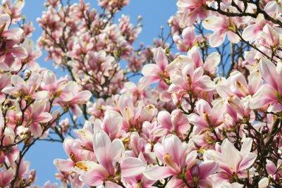 Fototapeta Magnolientraum
