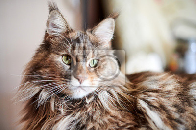 Fototapeta Maine coon cat, close up. Funny, cute cat with marble fur color. Largest domesticated breeds of felines. Soft focus.