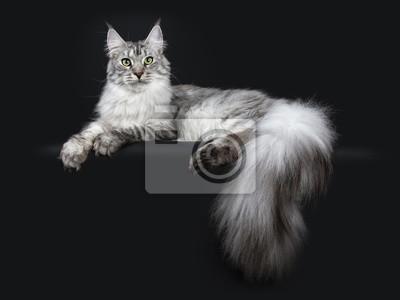 Fototapeta Majestic srebrny pręgowany youn dorosłych kotów Maine Coon r. Po stronie dróg z łapami i ogromny ogon wisi nad krawędzią, patrząc prosto w obiektyw na białym tle na czarnym tle