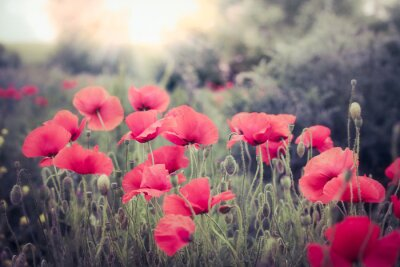 Fototapeta Mak kwiaty na łące