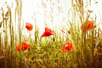 Fototapeta Maki - czerwony mak
