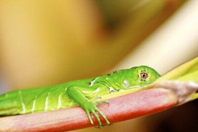 Fototapeta Makro Jaszczurka zielona