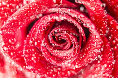 Fototapeta Makro kwiat róży z kroplami wody