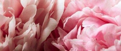 Fototapeta Makro tłem kwiatu piwonia.