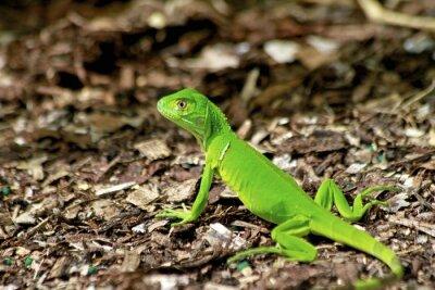 Fototapeta Mała zielona jaszczurka