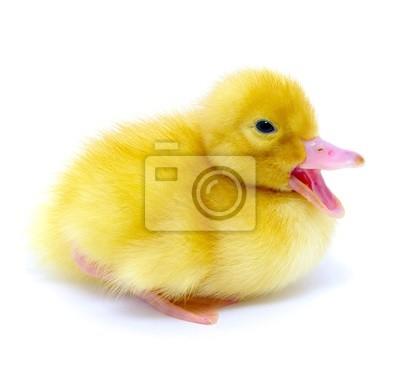 mała żółta kaczka
