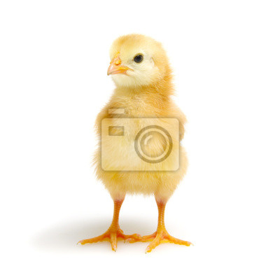 małe nowonarodzone kurczaki na białym tle