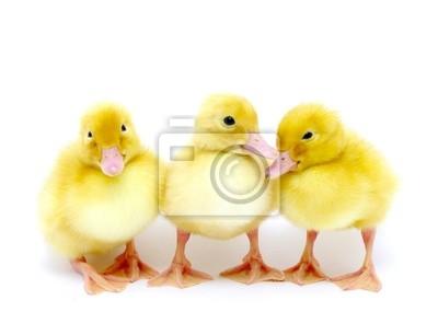 małe żółte kaczki