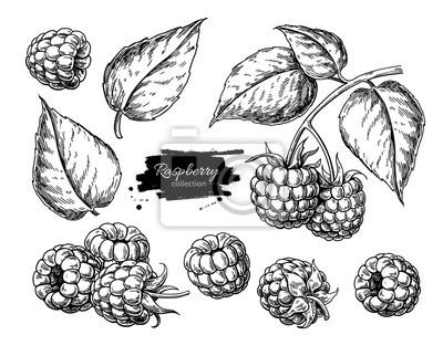 Fototapeta Malinowy rysunek wektor. Na białym tle szkic oddział jagoda na białym tle