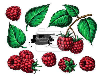Fototapeta Malinowy rysunek wektor. Szkic oddziału na białym tle jagody