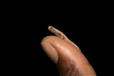 Fototapeta mały kameleon Brookesia micra (Brookesia minima)