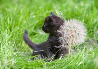 Fototapeta Mały kotek z dużym dandelion z nasion