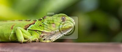 Fototapeta Mały Zielony Iguana Zbliżenie