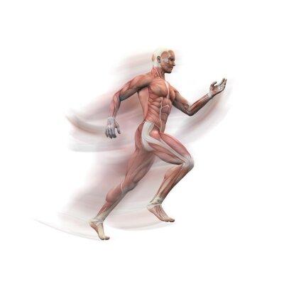 Fototapeta Mann, Sprinter Anatomie Muskeln 3D motion blur