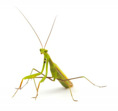 Mantis isolated on a white