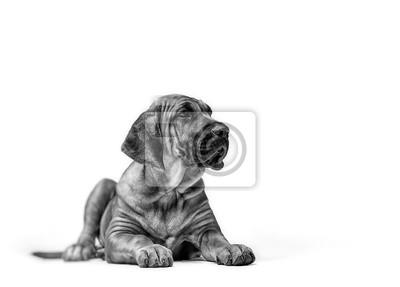 Fototapeta Mastif Szczeniak. Brazylijski Mastif znany również jako Fila Brasileiro. Szczeniak na białym tle
