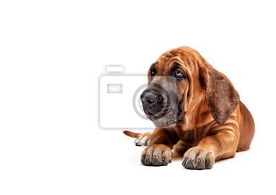 Fototapeta Mastiff Puppy. Mastif brazylijski znany również jako Fila Brasileiro. Szczeniak na białym tle