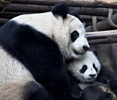 Fototapeta Matka Panda Przytulanie jej dziecko