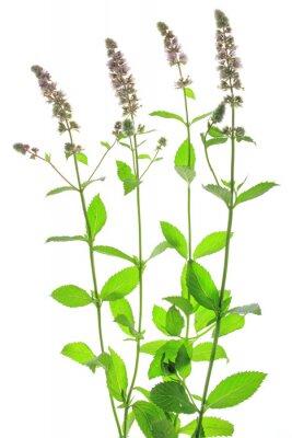 Fototapeta (Mentha spicata)