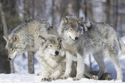 Fototapeta meute de loup gris