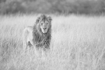 Fototapeta Mężczyzna Lion Staring