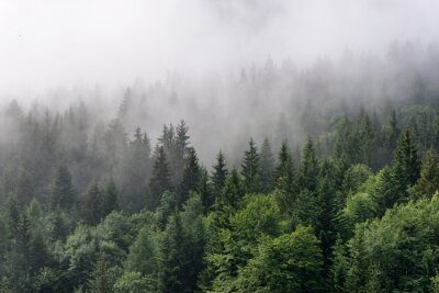 Fototapeta Mgła Toczenia W Over Lush Evergreen Forest