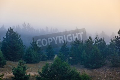 Fototapeta Mgła w gęstym lesie iglastym.