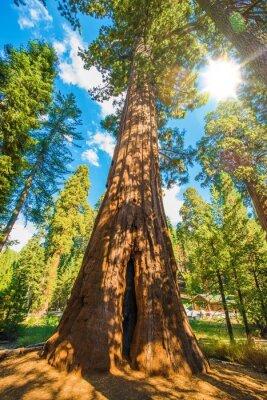 Fototapeta Między Sequoias