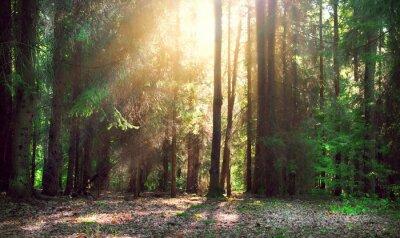 Fototapeta Misty stary las z promieniami słońca, mgły i cieni